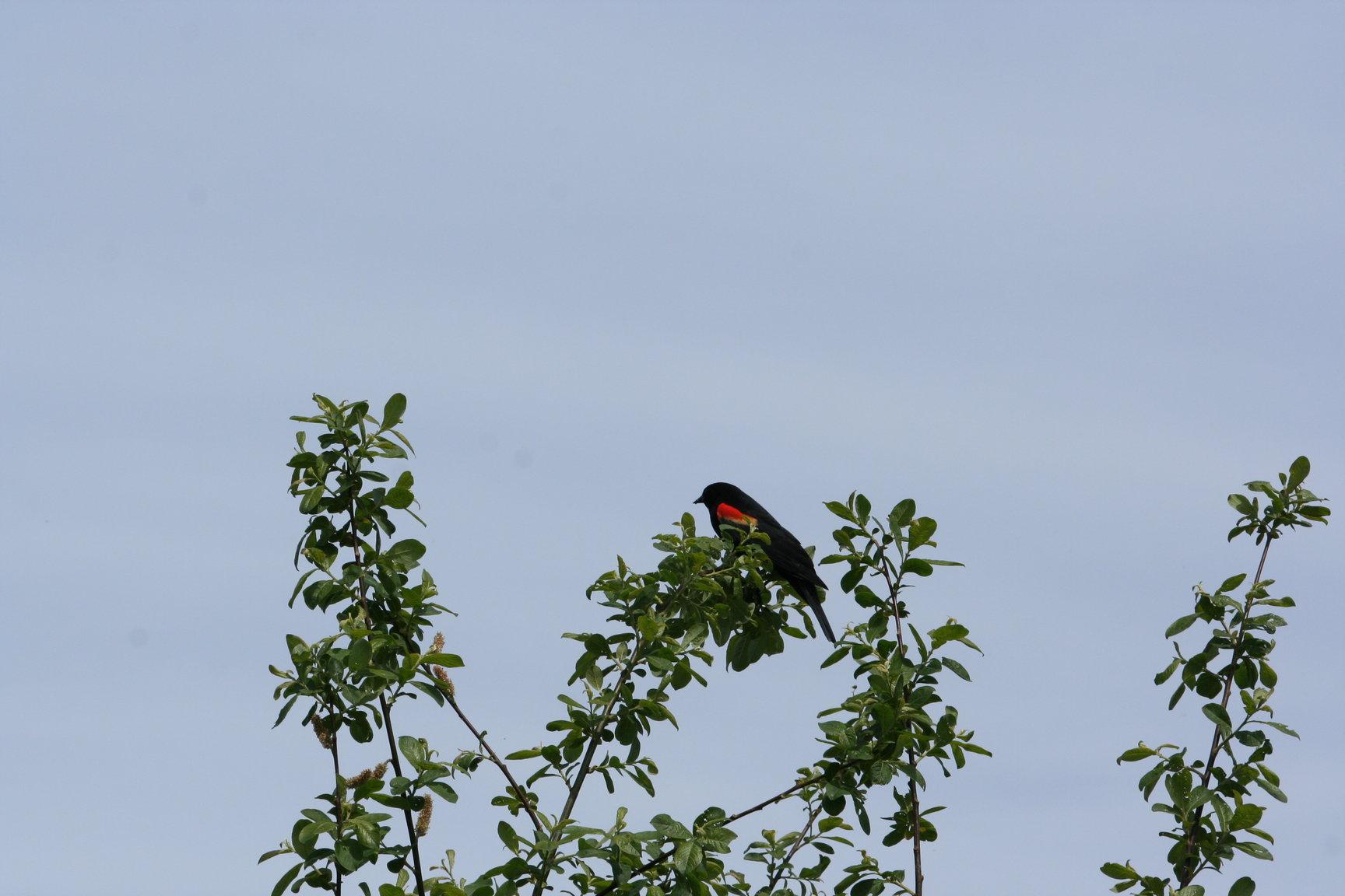 red_winged_blackbird_3