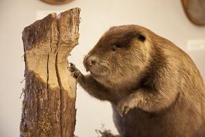 uw beaver