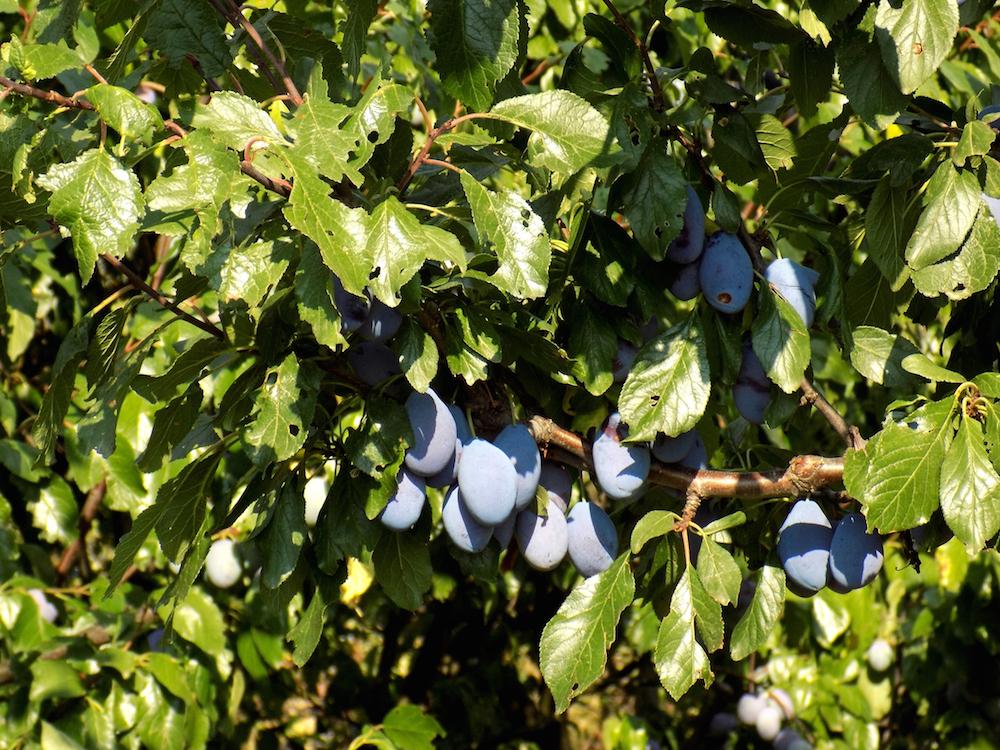 Italian prune plum tree