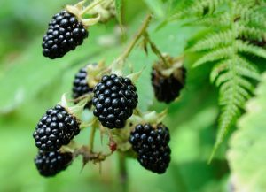 A Quick and Juicy Guide to Berries of the Northwest | The